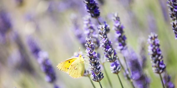Lavender Th Symbol Of The Provence Luxury Holiday Villas In The